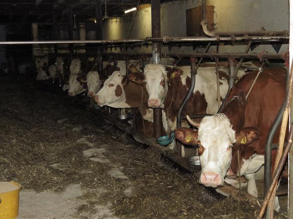 ruszta betonowe dla bydła